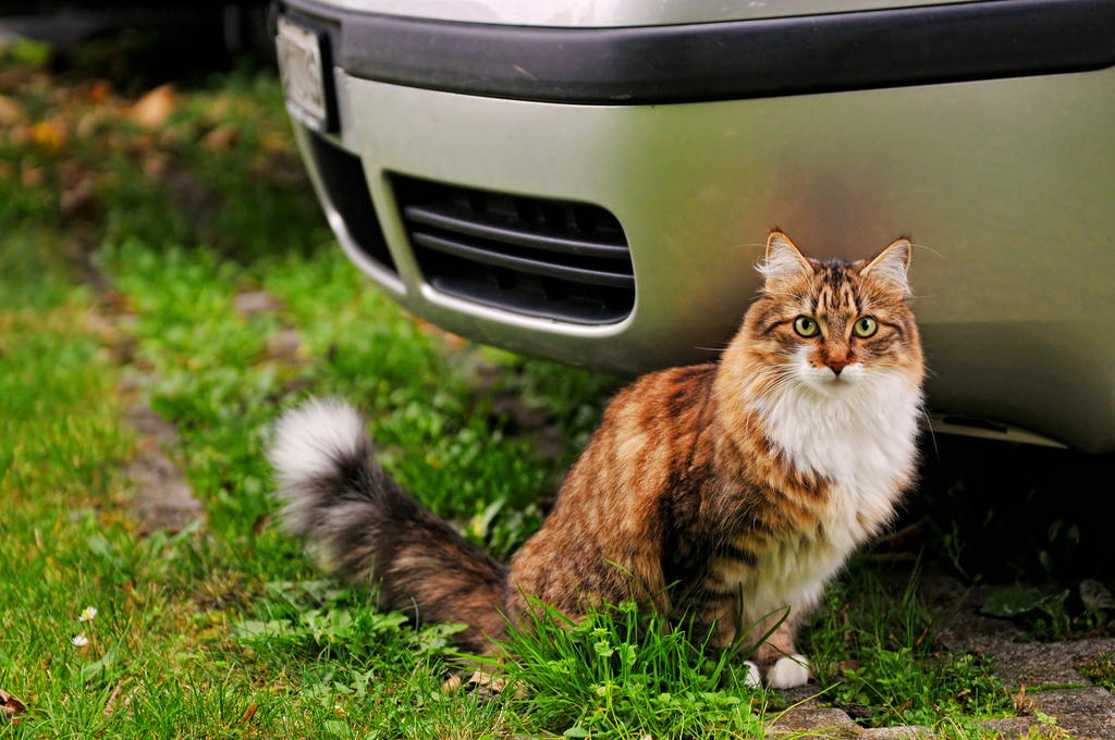 get cat urine smell out of carpet