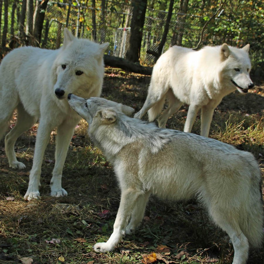 what is wolves natural diet