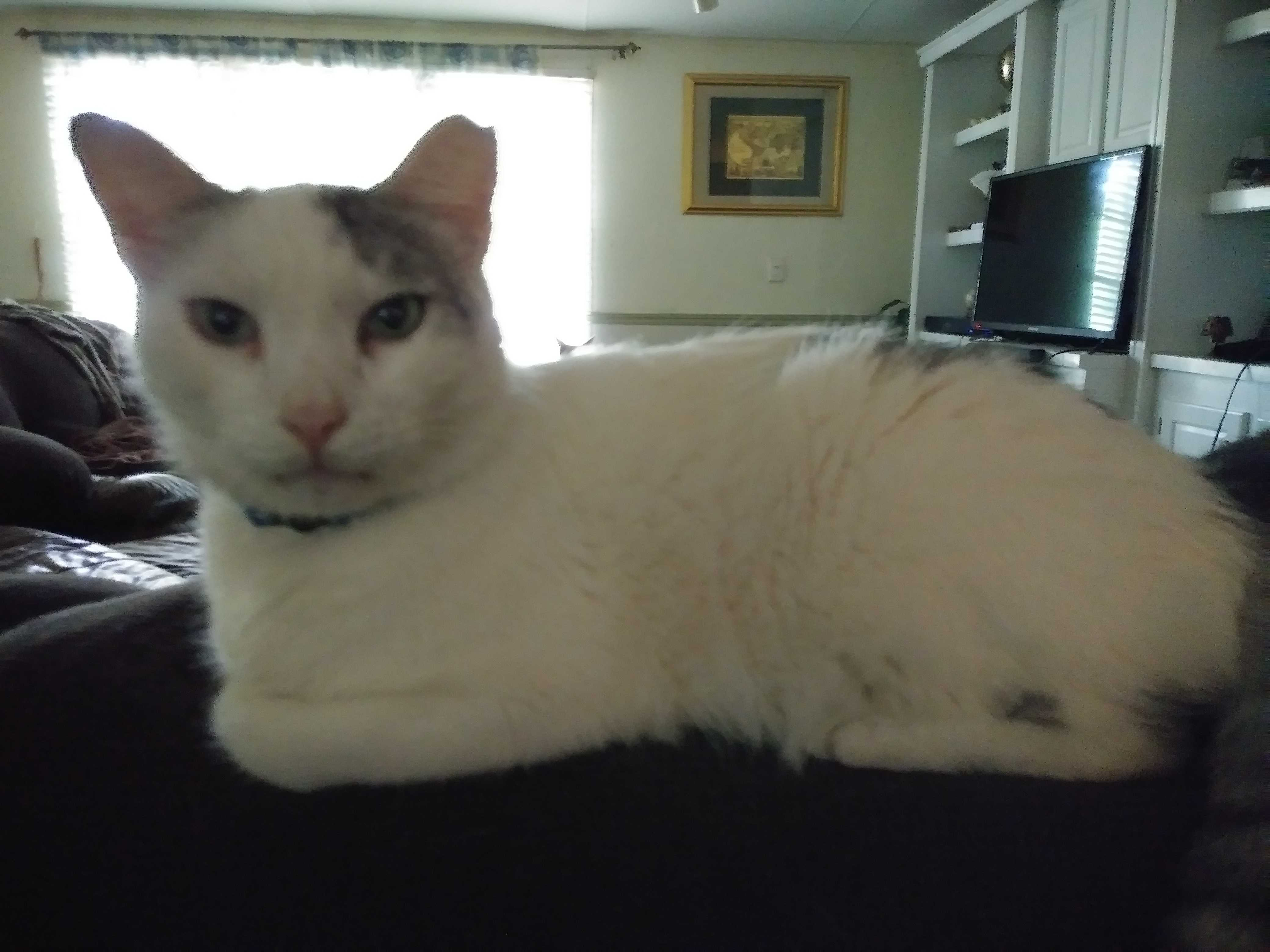 white cat sitting on top of a couch in a living room