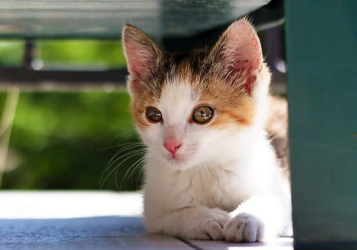 kitten with white and brown patches sitting in the sun under a chair