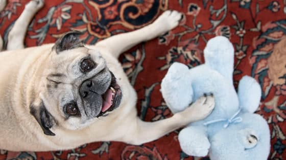 bulldog puppy on the bed with dog toy
