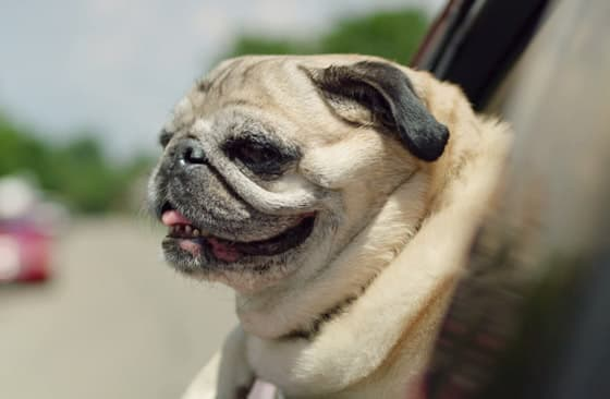 bulldog puppy with head out the car window and mouth open